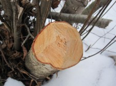 Beavers are fine woodworkers leaving spears of wood sticking out everywhere.
