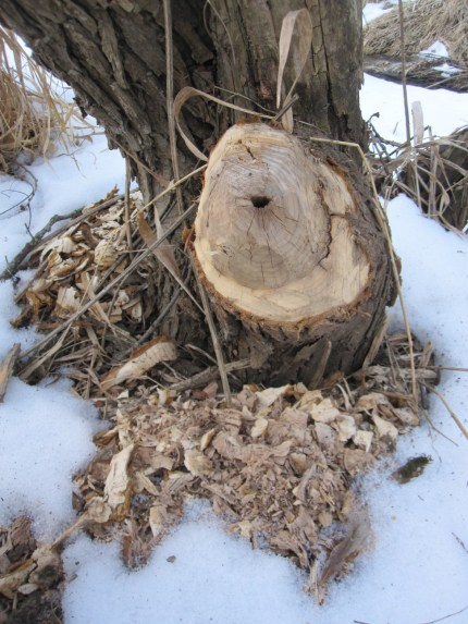 Beavers enjoy eating the outer layers of bark and inner cambium but not the inner woody part. This was probably eating off to take the log to the nearby dam.