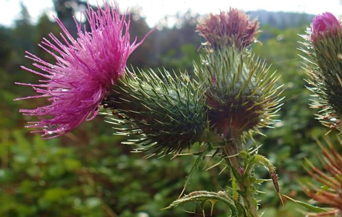 Thistle Dew, in the morning after the rain