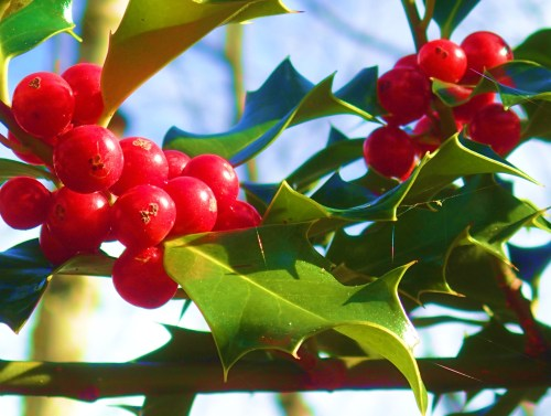 More red berries. Ho;l;ly this time. Yep, it's that time of year again. Bum Hug!