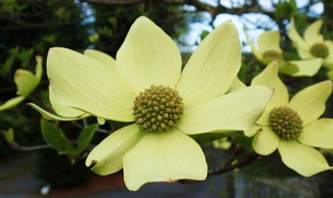 See! dogwood blooms in April