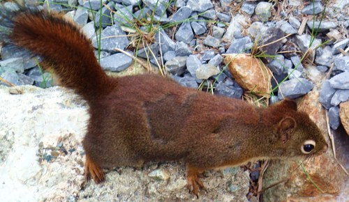 Blurry, my friend the red squirrel. he's very hard to photograph, he moves around so quickly.