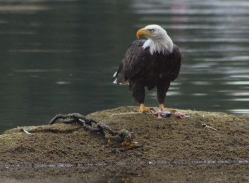 Unchained. A bald eagle breakfasting on a salmon carcass at low tide near my dock. The chain is a relic of the airbase days.