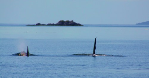 Westward Ho. Part of a pod of Orcas gorging on salmon. Sure wish I could swim like that!