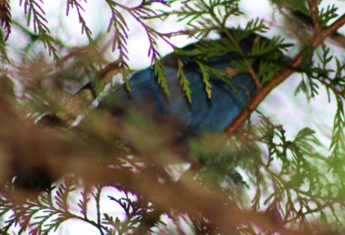 A Stellar encounter. This Stellar Jay harrassed me until I pointed my camera and took this one shot