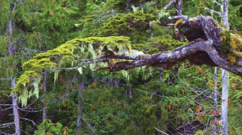 Think green. Moss and witches hair on a Spruce limb