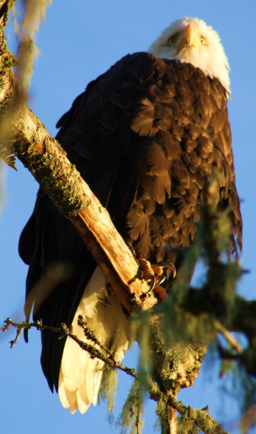 Well all right! One more eagle photo.
