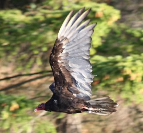 Inbound for sushi. A turkey vulture and it's awesome wings