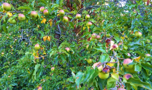 "Even the feral apples are having a bumper year. This whole tree sprang up from a seed that passed through a bird. ""Anyone can count the seeds in one apple, but who can count the apples in one seed?"""