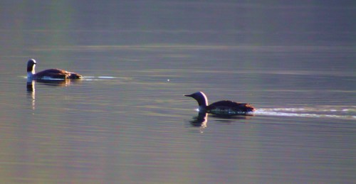 Shhhh! Two loons steal through the calm of early morning.