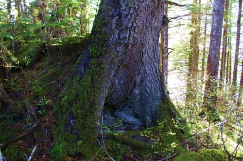 This Sitka Spruce Tree, about five feet across at the base, was just a seed many centuries after these carvings were made.