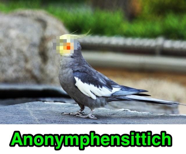 Cockatiel_Parakeet_Nymphicus_hollandicus