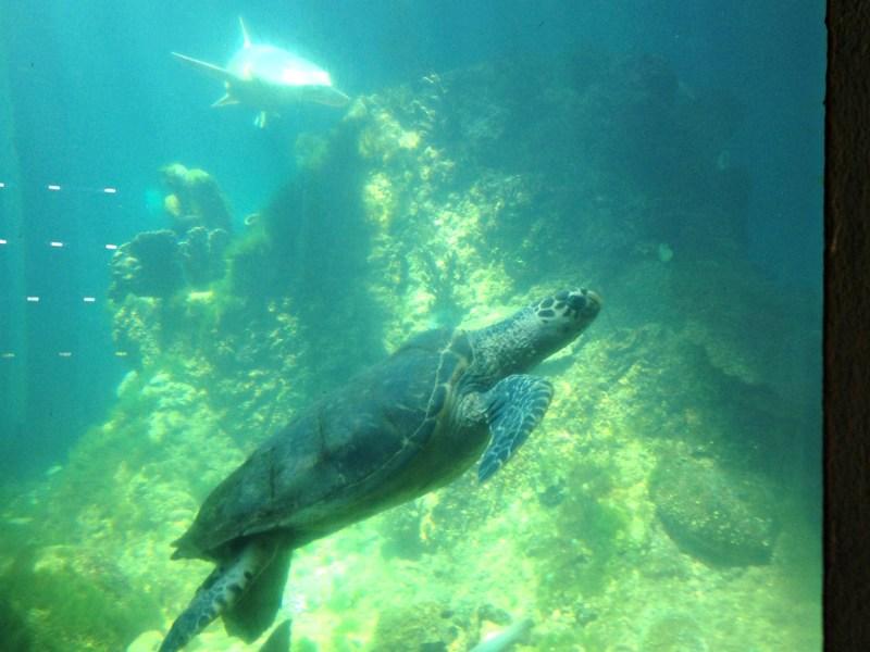 sea turtles at the Aquaria Nacional in Santo Domingo