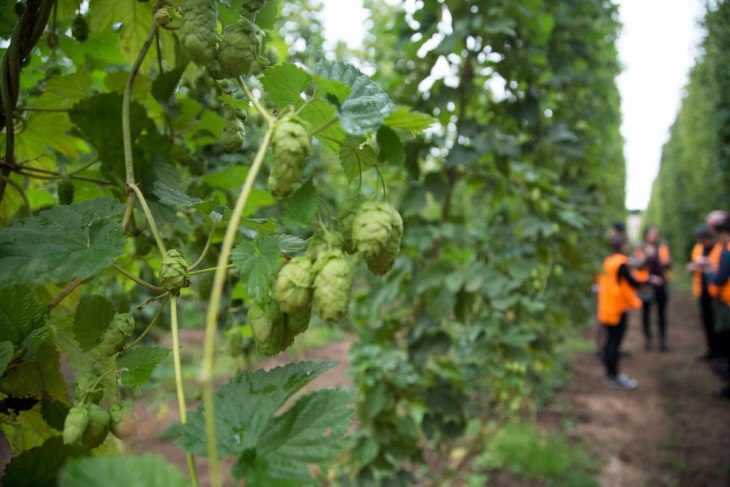 The Stone & Wood Brewing team tour the Galaxy hop garden at Hop Products Australia's Bushy Park, Tasmania farm