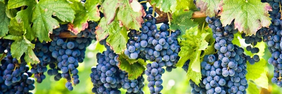 organic wine sales