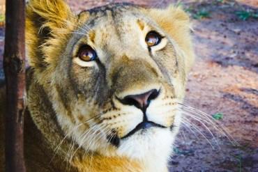 Dove accarezzare un leone