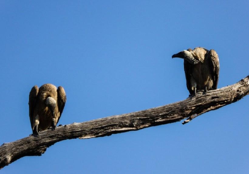 Avvoltoi Zambesi