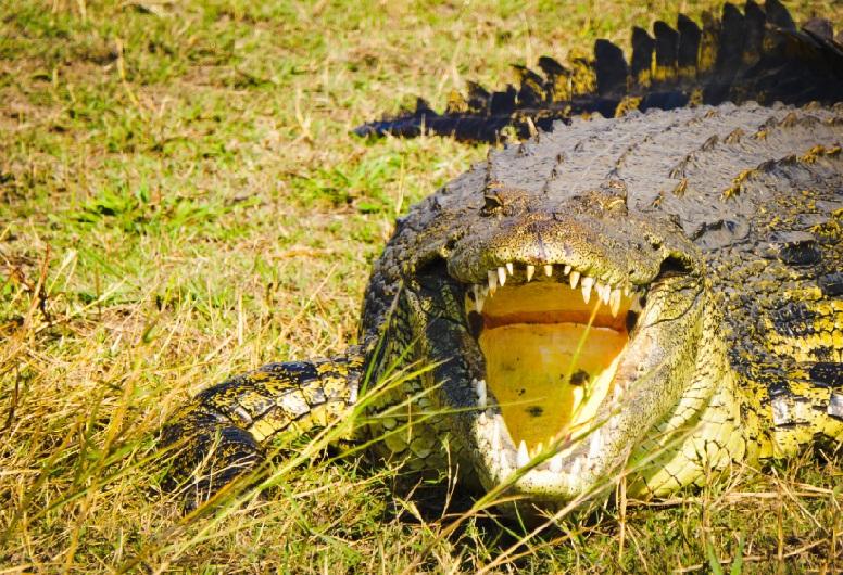 coccodrillo Zambesi
