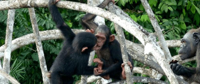 Scimpanzè Congo10