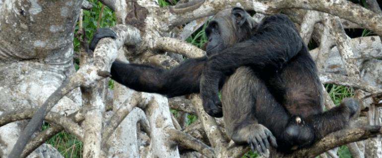 Scimpanzè al parco di Conkouati, Congo Brazzaville