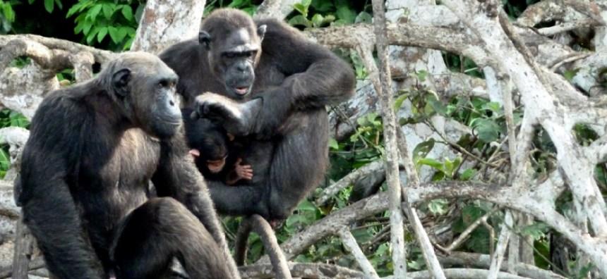 Scimpanzè congo3_edited