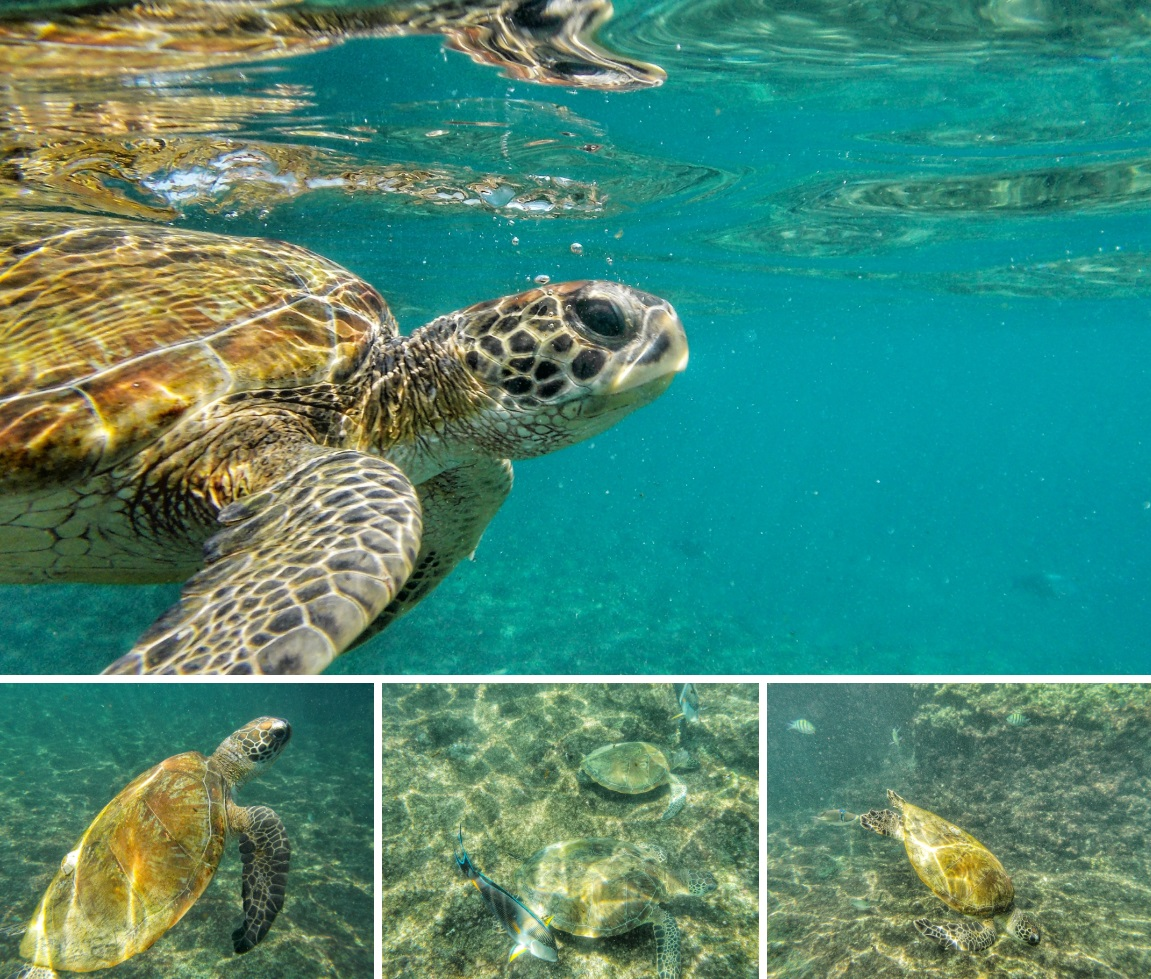 Nuotare con lo squalo balena in Oman