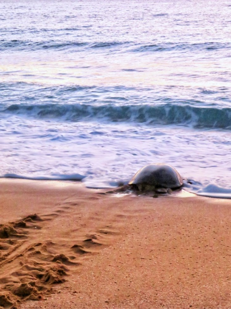 vedere le tartarughe in Oman