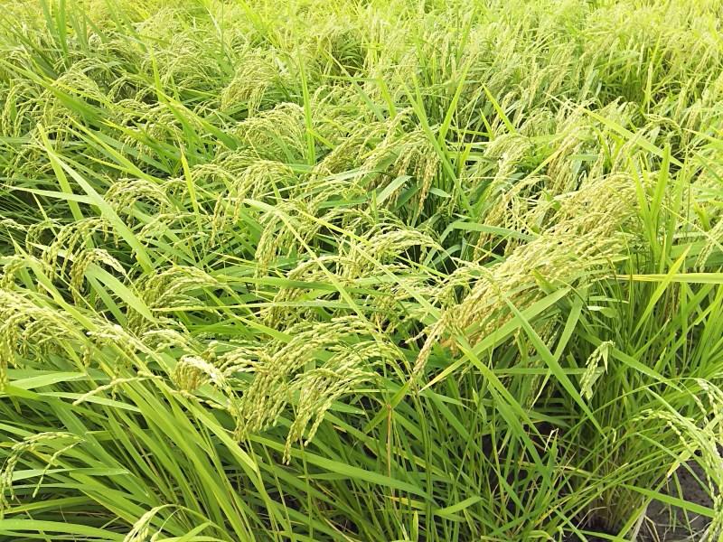 木村さんが信頼する稲。他の水田より間隔が広く、株は太くてしっかりしている
