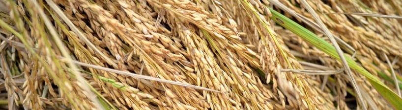 Rice closeup 1 final color B