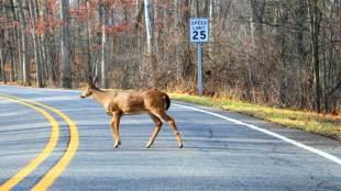 deer crossing the road - photo by Dwight Burdette