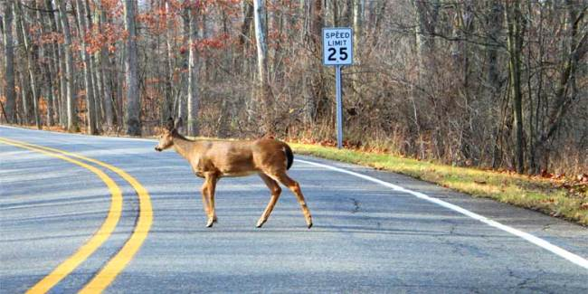 What to do if You See a Deer on the Road