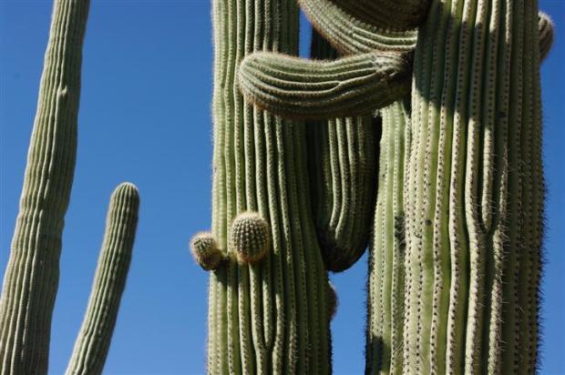 Saguaro