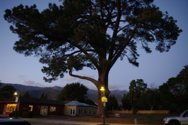 The largest Torrey Pine...so they do grow outside San Diego County.