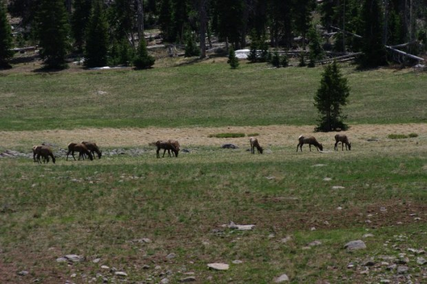 We spotted the first elk of our trip in a high meadow.