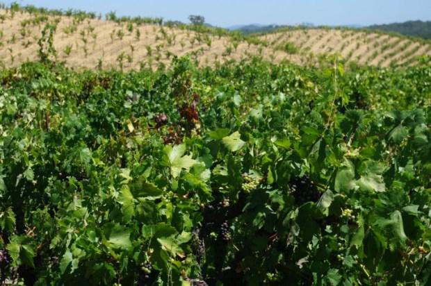 Ridge's Lytton Springs vineyards.