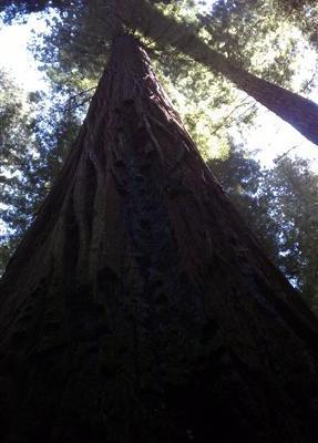 The Redwoods of California