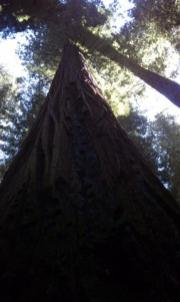 Tall Tree from the base looking up.
