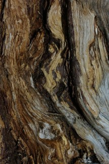 Bristlecone pine close-up.