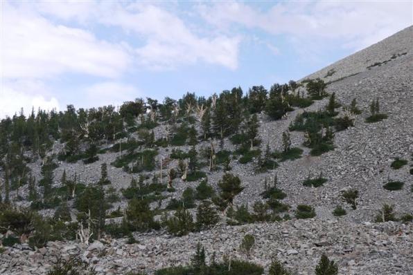 Bristlecone pines at the treeline. [pdo]
