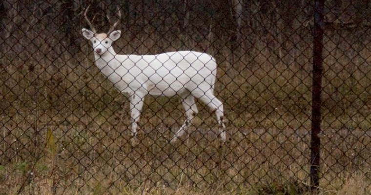 We Spot the Seneca White Deer
