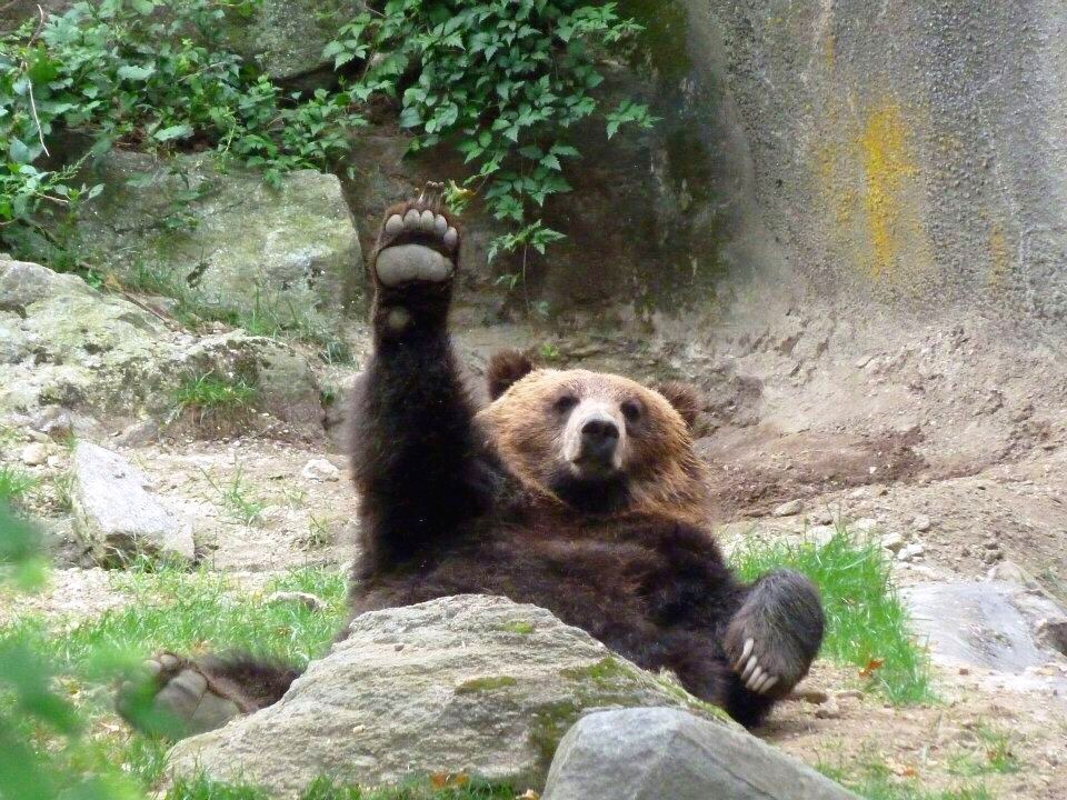 BEar waving.