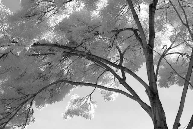 Infrared black and white photograph of tree and sky