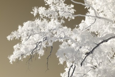 Infrared gold photograph of Australian eucalyptus tree branches and leaves against sky