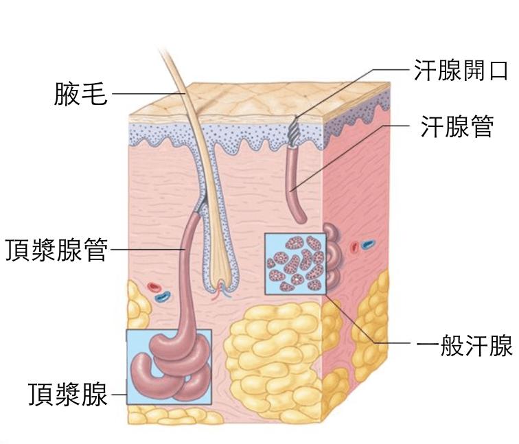 狐臭 頂漿腺組織圖