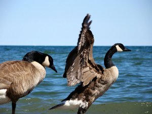 goose - a symbol of perfectionism