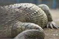 Crocodile_2