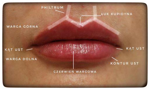 budowa ust