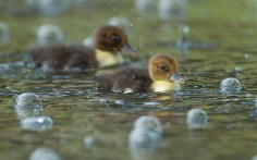 Moscovy Duck...Moscovy ducklings swim between bubbles, caused by rain drops from an afternoon thunderstorm, at a pond in Pembroke Pines, Fla. Thursday, Aug. 2, 2012. (AP Photo/J Pat Carter)