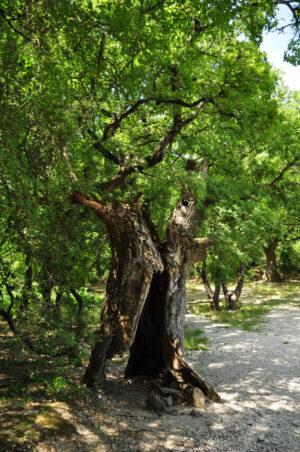 Ausgehöhlter Baum, der weiter wächst