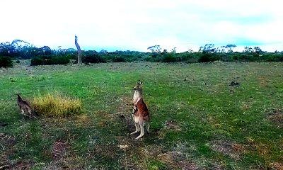 erding kangaroos with a Phantom 3 drone.